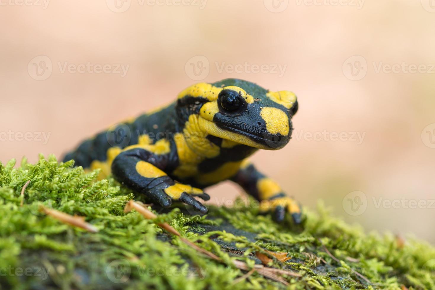 fire salamander photo