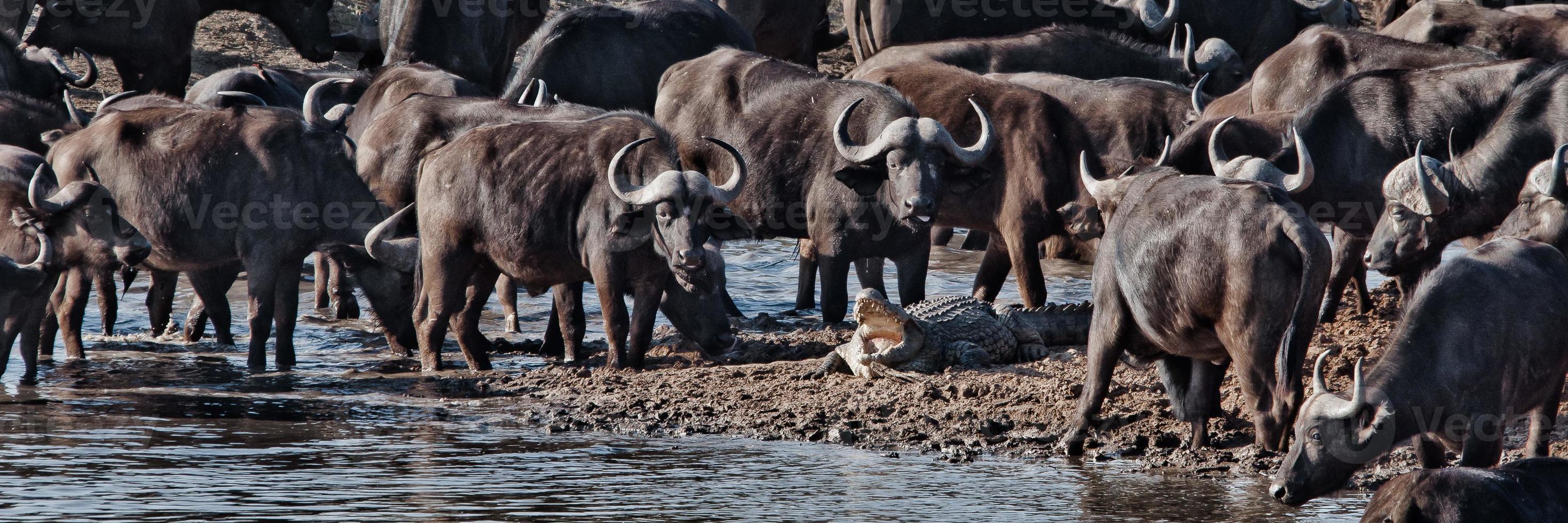 Buffalos vs Crocodile photo