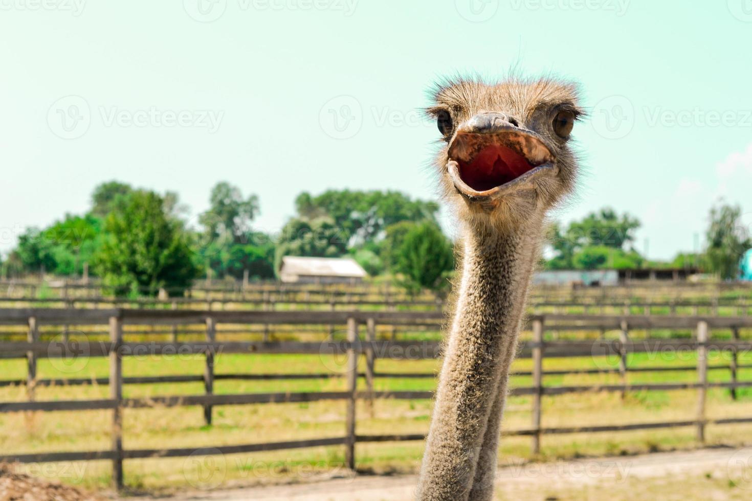 lindo avestruz foto