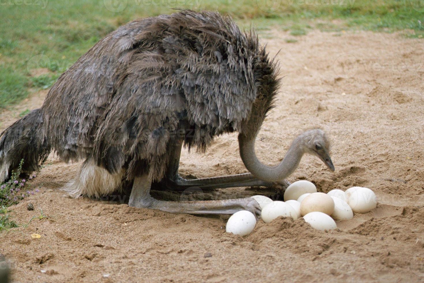 avestruz y sus huevos en el nido foto