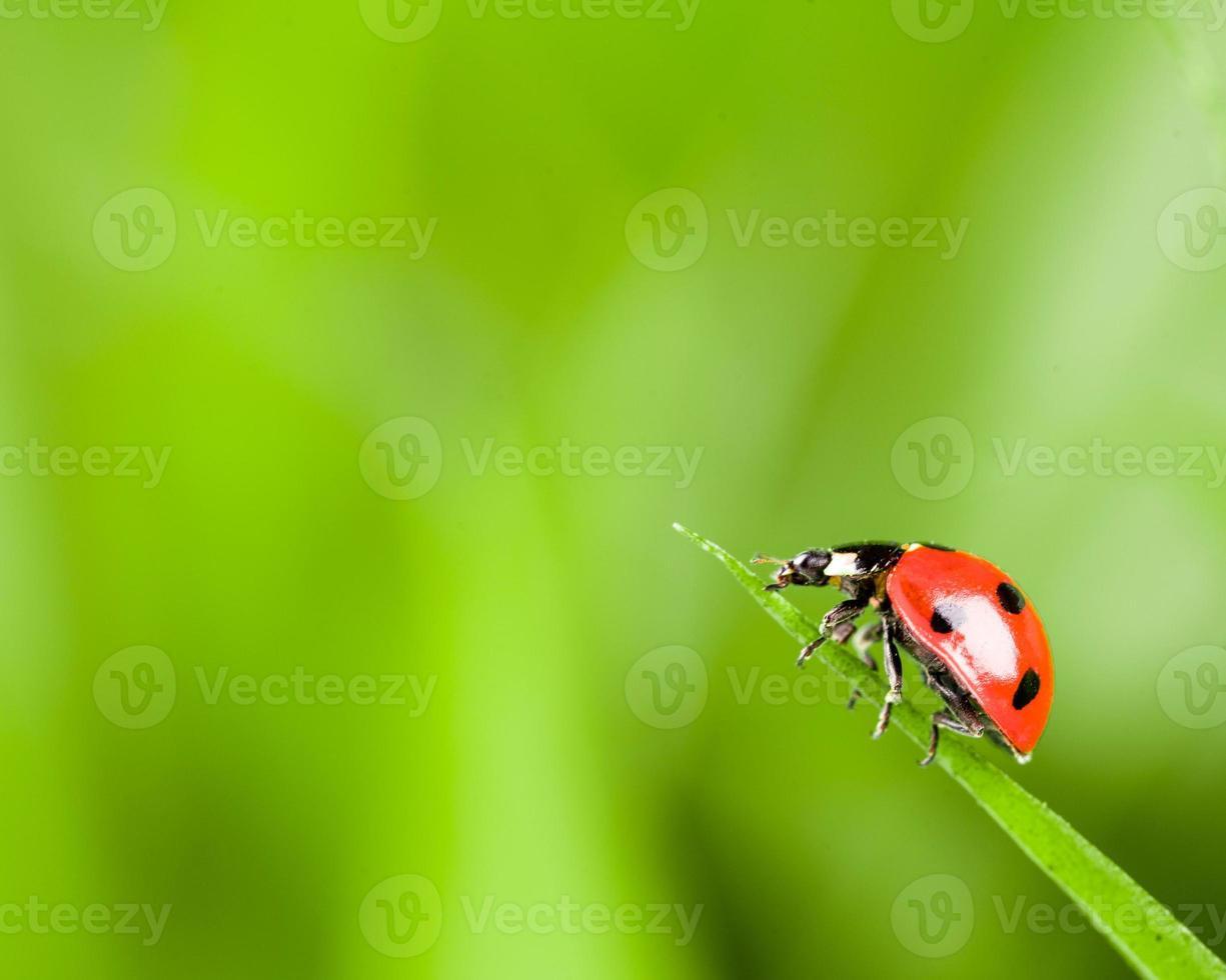 Ladybug on Grass Over Green Bachground photo