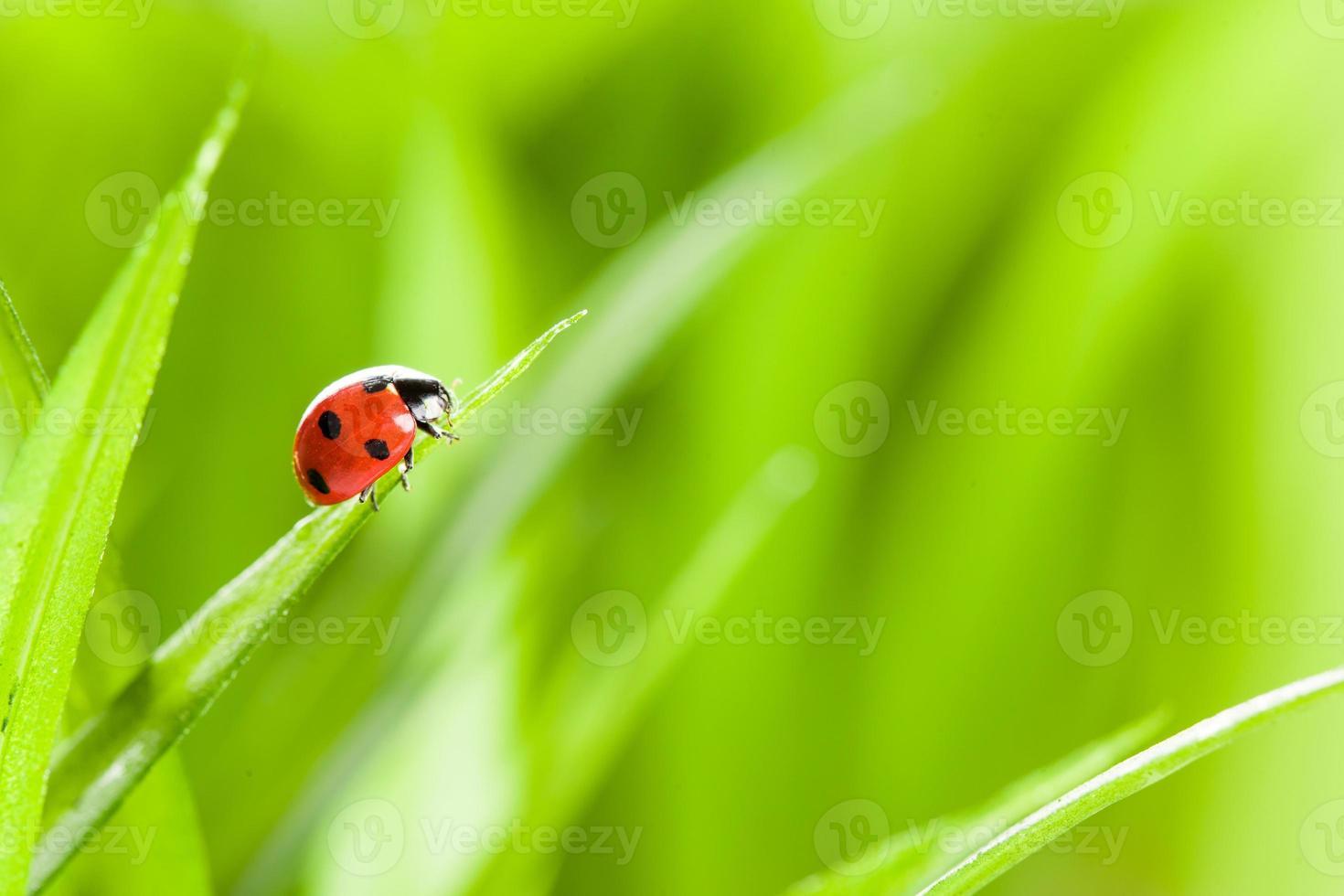 mariquita sobre hierba sobre bachground verde foto