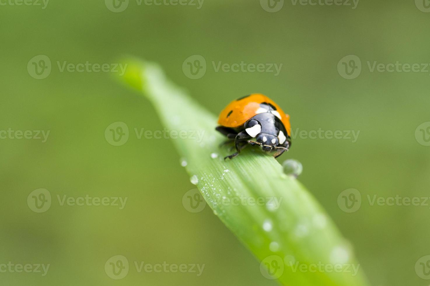 mariquita, sobre una brizna de hierba con rocío de la mañana foto