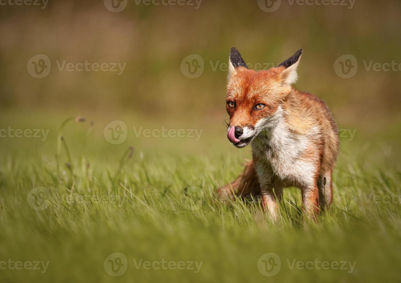 zorro rojo (vulpes vulpe) foto