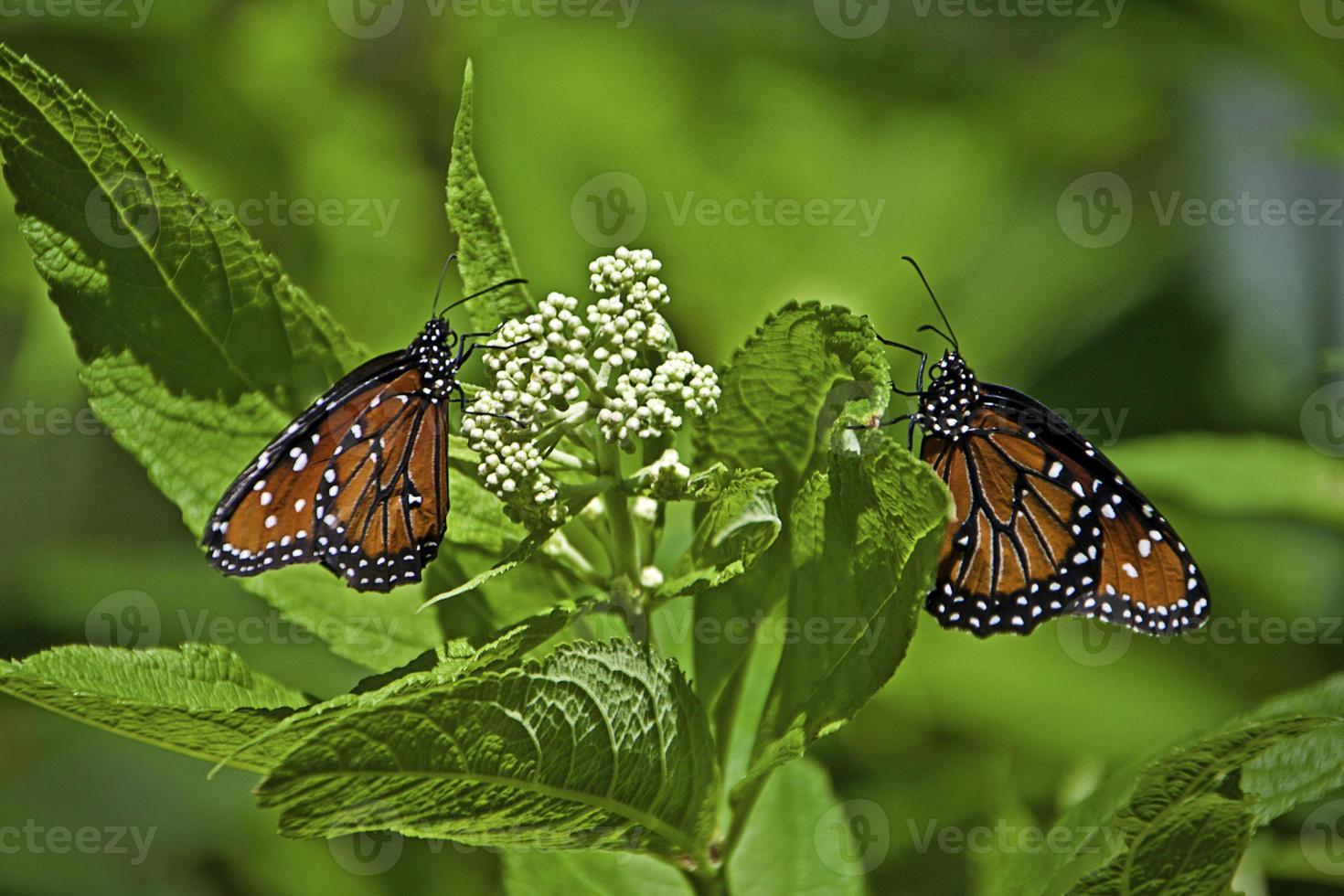 Two Monarch butterflies (Danaus Plexippus) on white flower photo