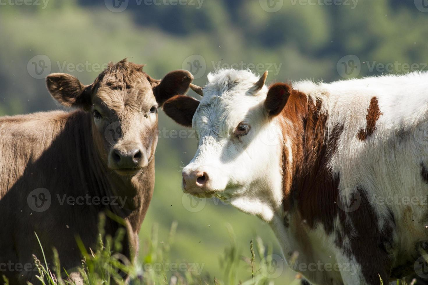 Two young calfs photo
