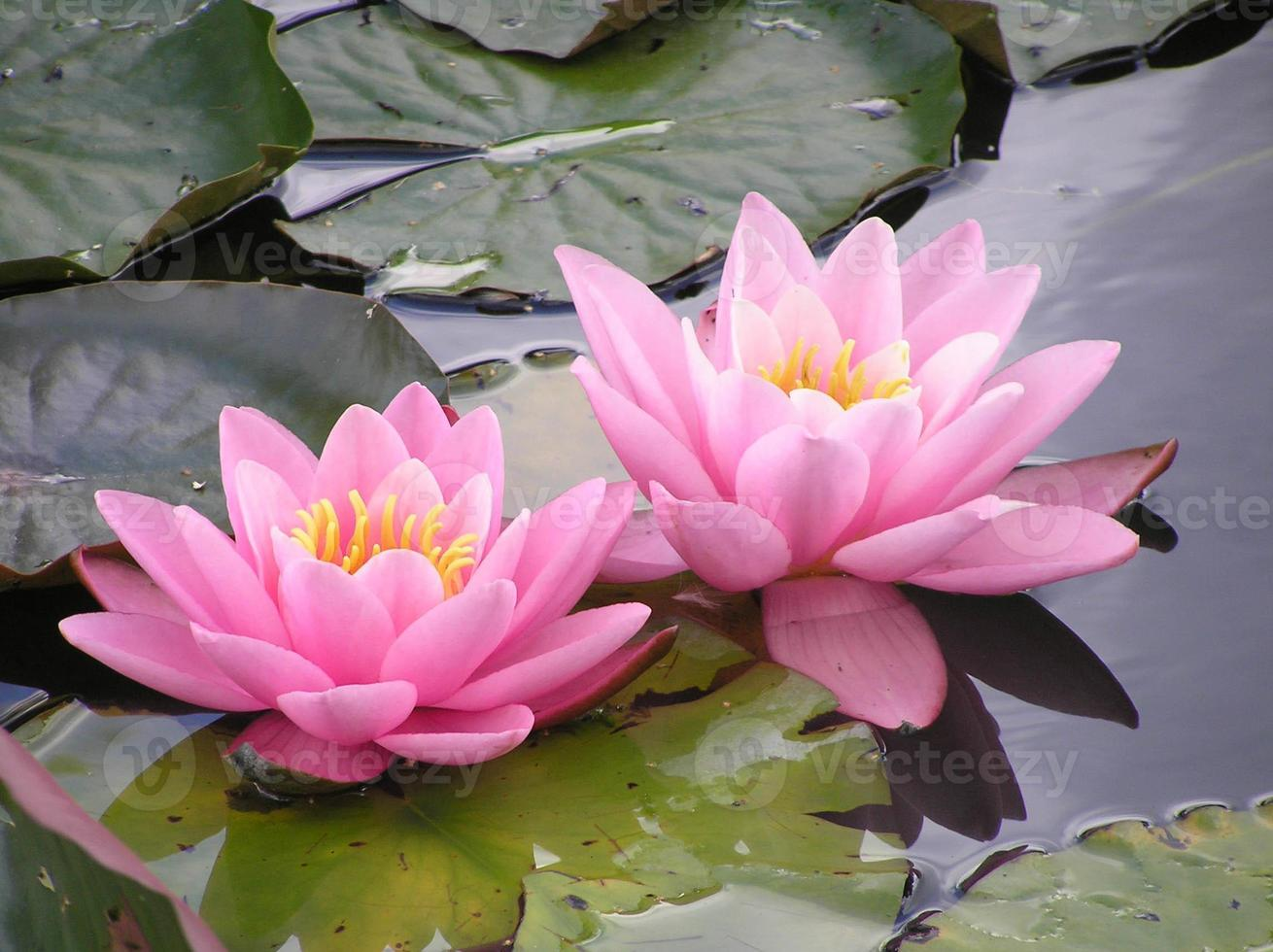 Two pink waterlilies photo