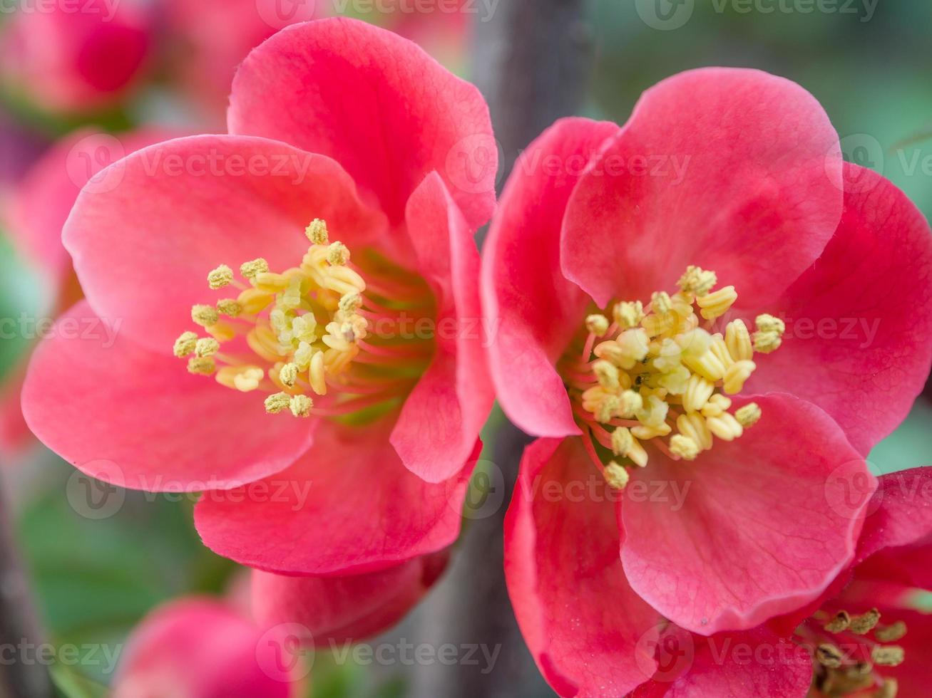 Spring flowers series, red flowers on the branches flowering cha photo