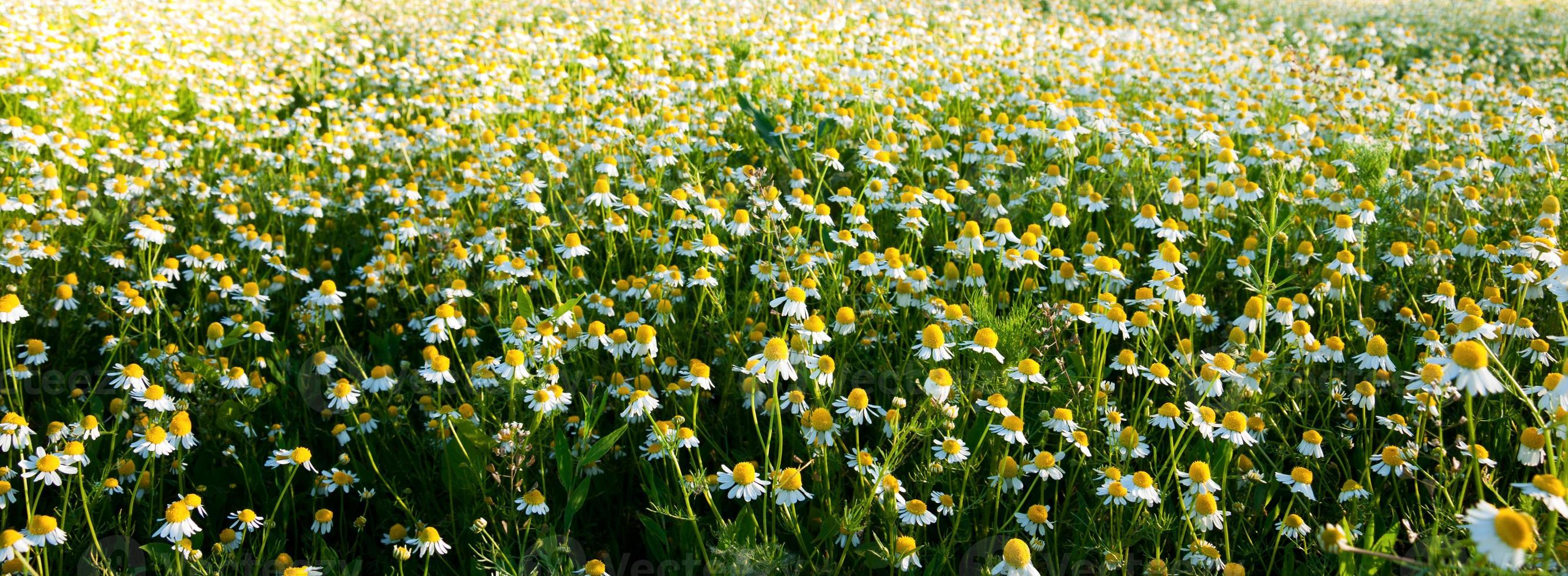 Field of camomile flowers. Flower texture photo