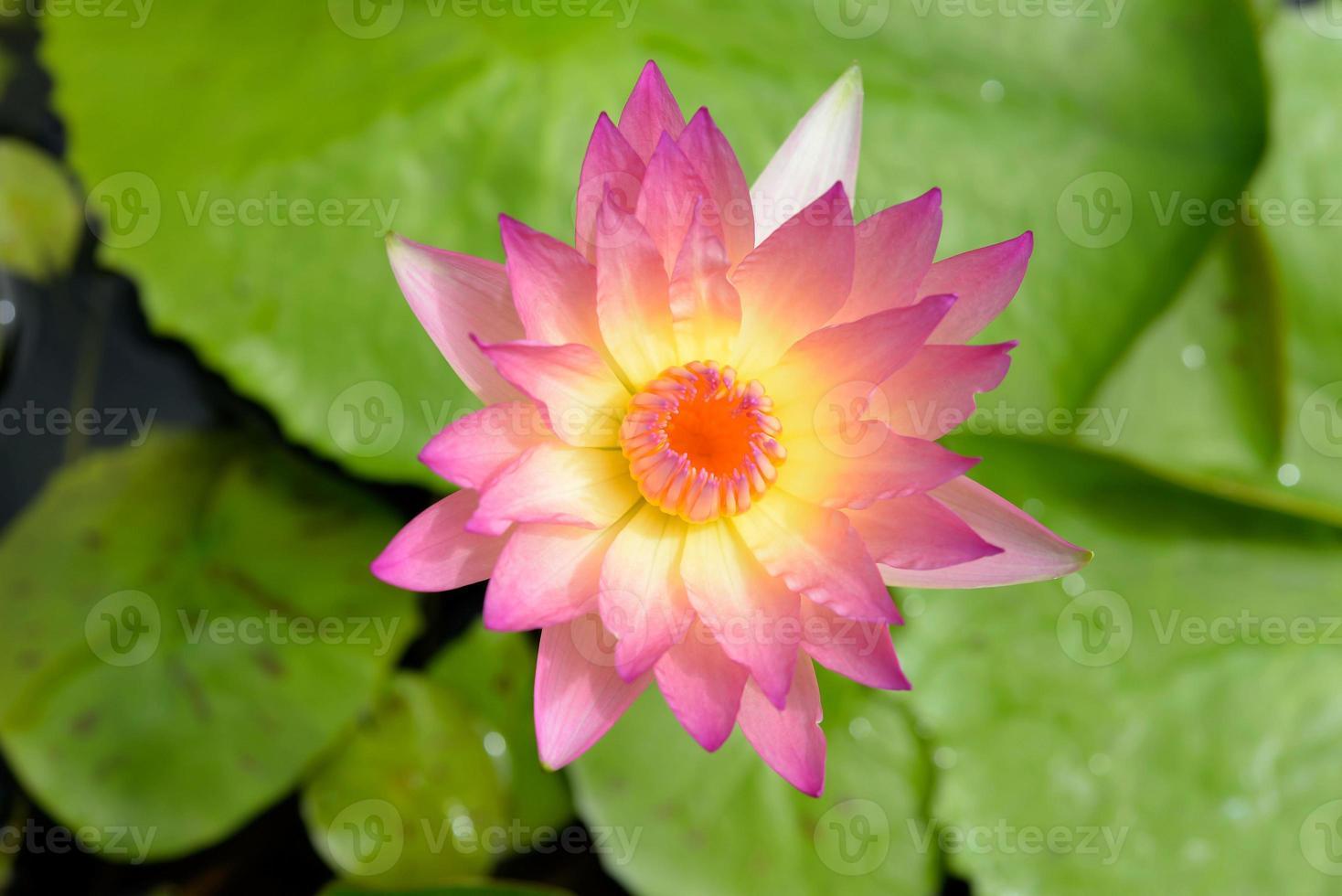 flor de loto y plantas de flor de loto foto
