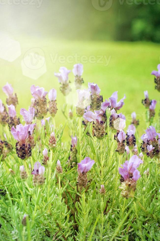 Garden with freshly flowering lavender flower photo