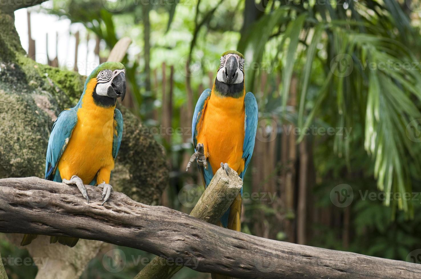 Two blue and yellow macaws photo