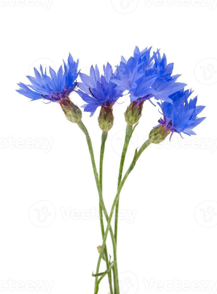 cornflowers isolated on white background photo