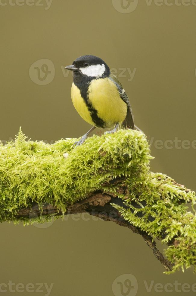 Great Tit; (parus major) perched on a log photo
