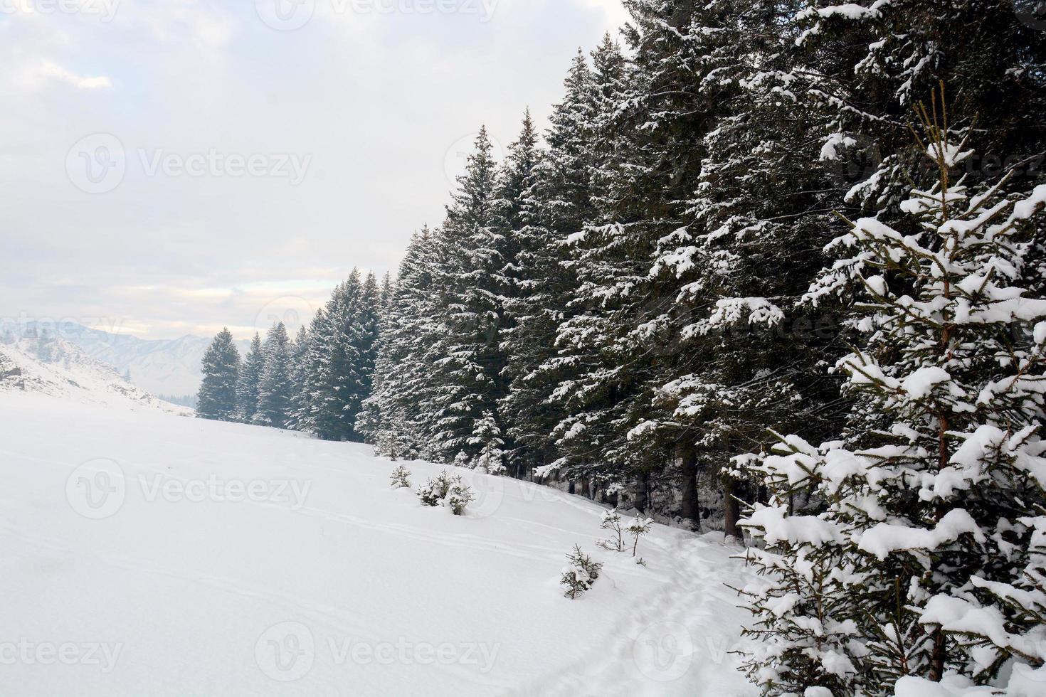 ramas de abeto en la nieve, bosque de invierno foto