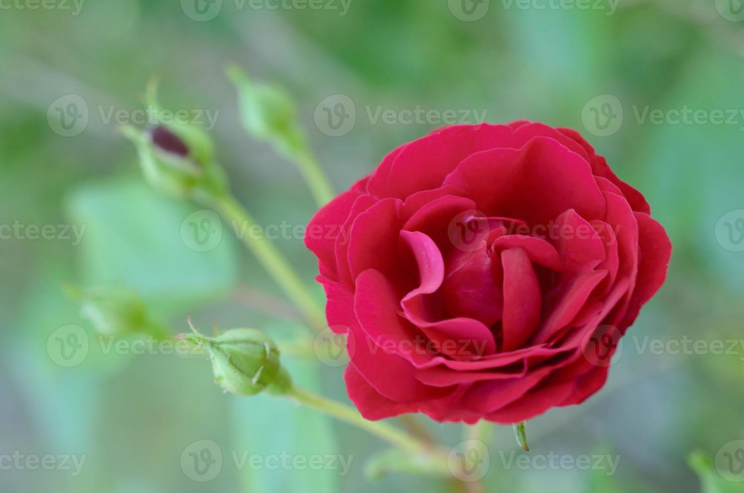 rosa roja en flor foto
