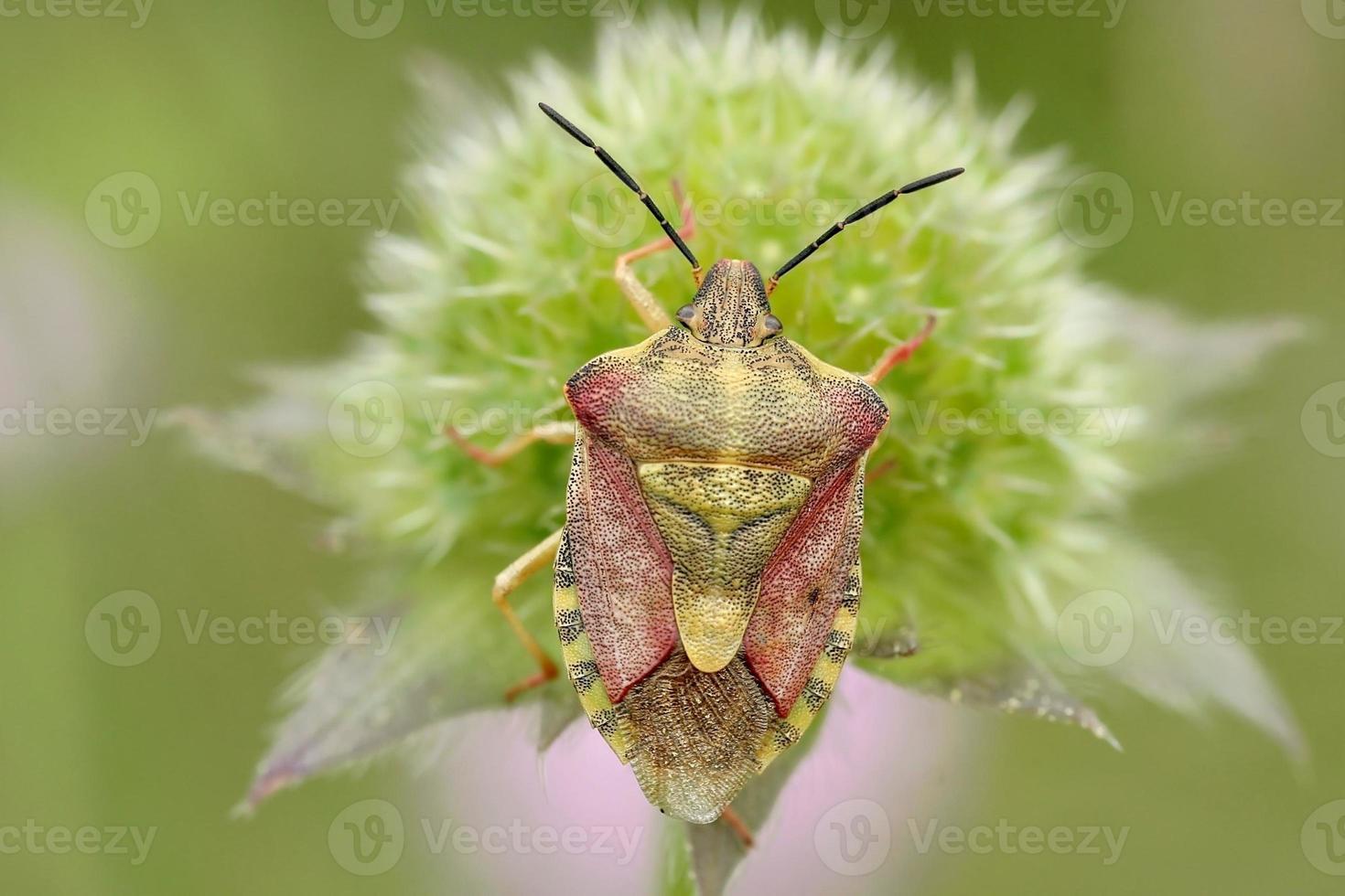 Close-up of bedbug photo