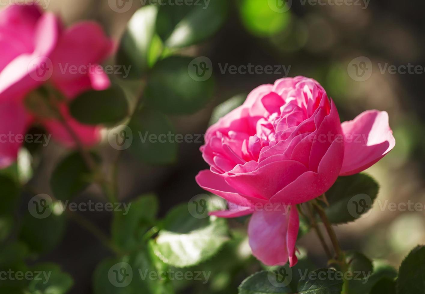 Beautiful pink rose, selective focus photo