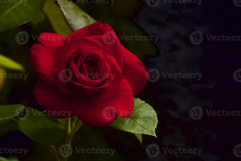 Fascination rose photo
