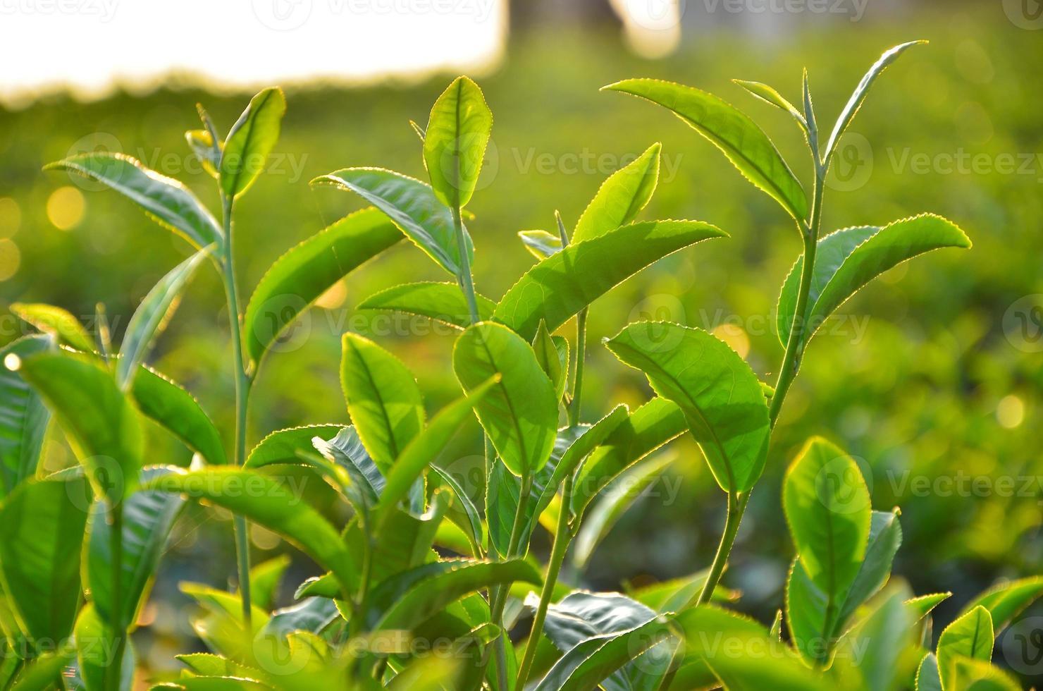 hojas de plantación de té foto