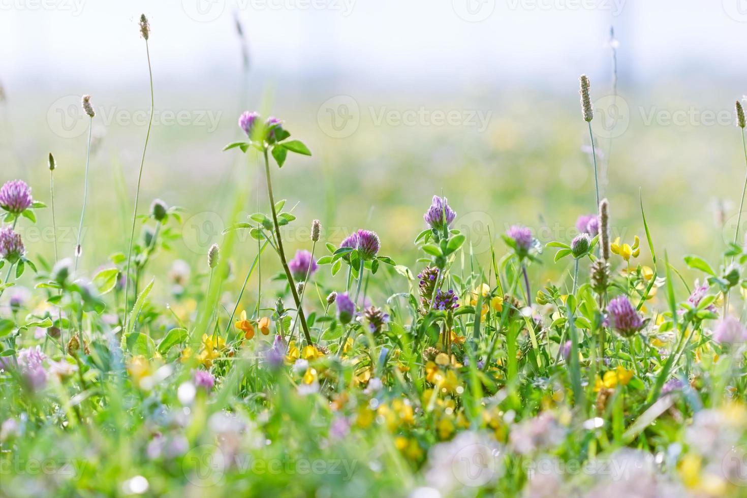 Flowering clover photo