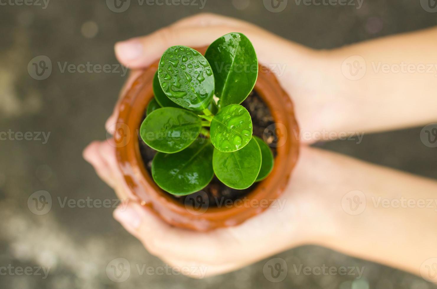 Hands holding green sapling photo