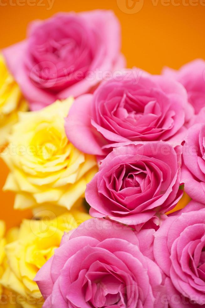 Flower of pink roses photo