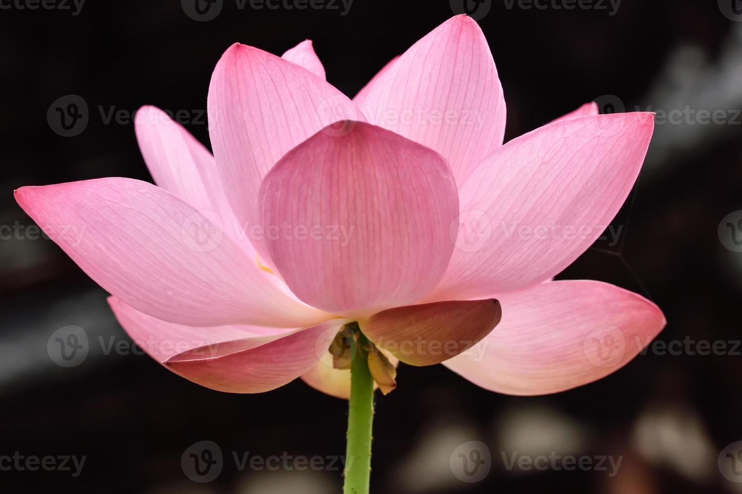 flor de loto foto