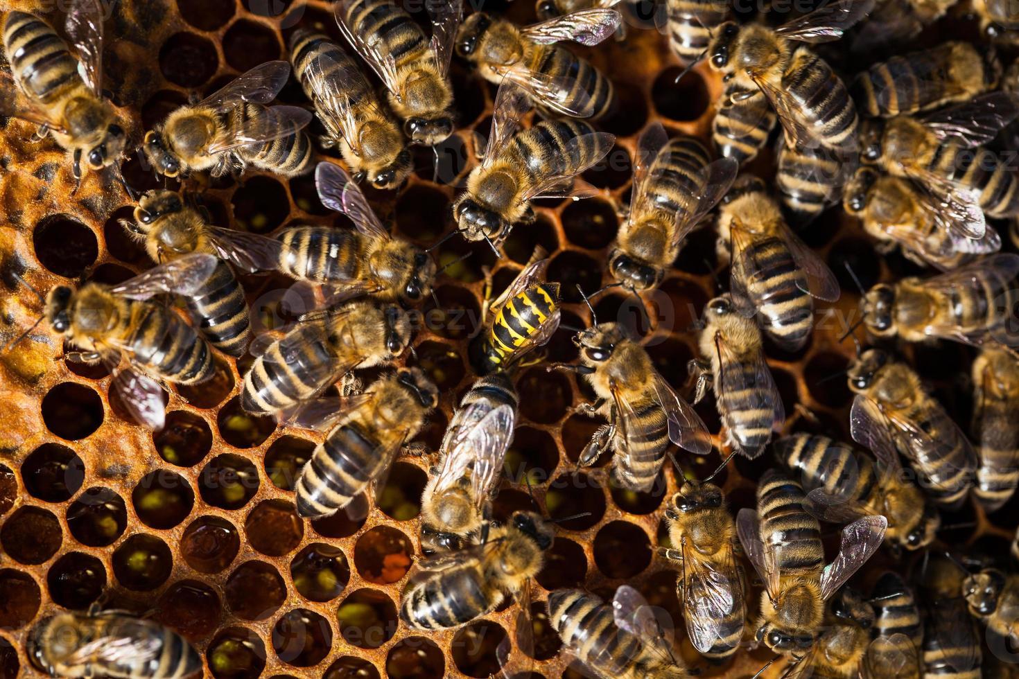 Macro shot of bees swarming on a honeycomb photo
