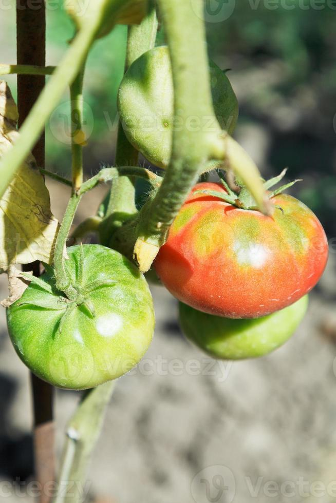 few tomato on bush in garden photo