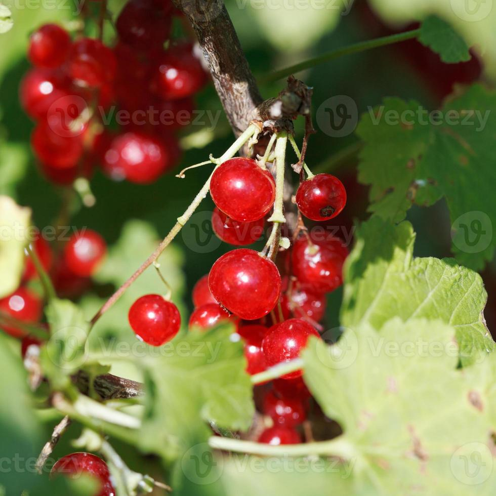 redcurrant berries close up in green leaves photo