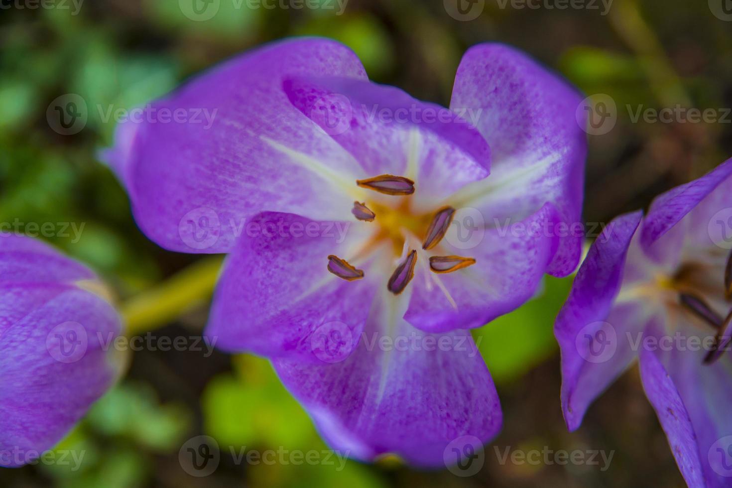 flores de azafrán foto