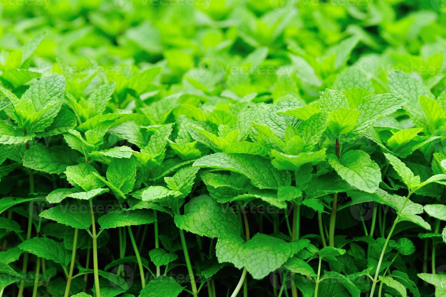 mint plants photo