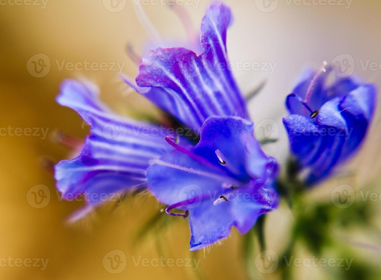 Indigo flower photo