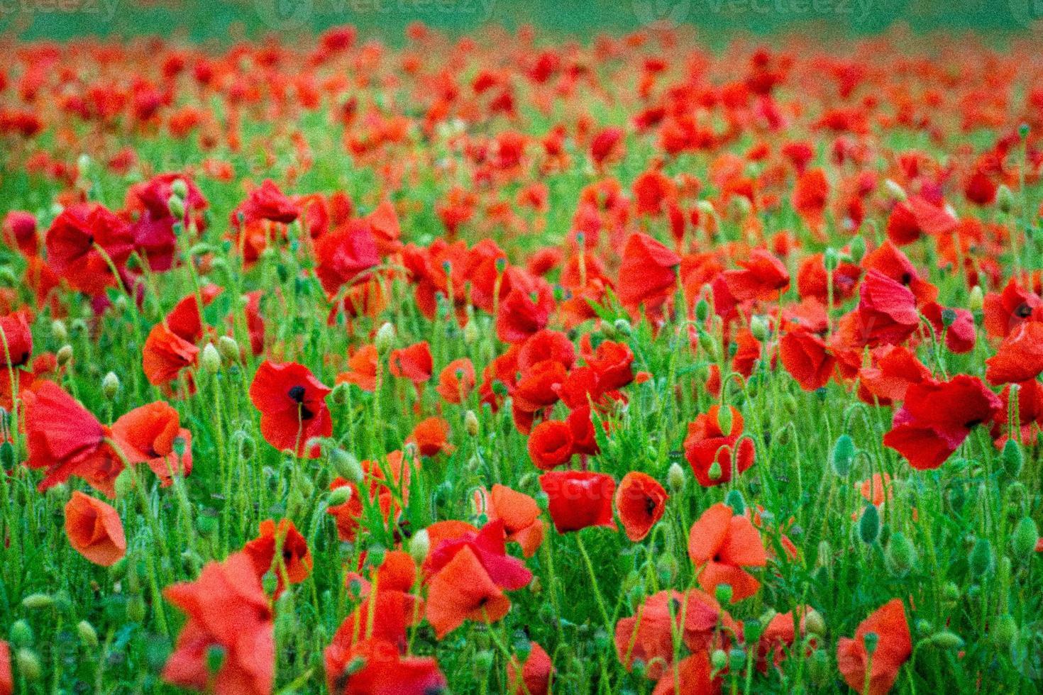 Poppy flowers photo