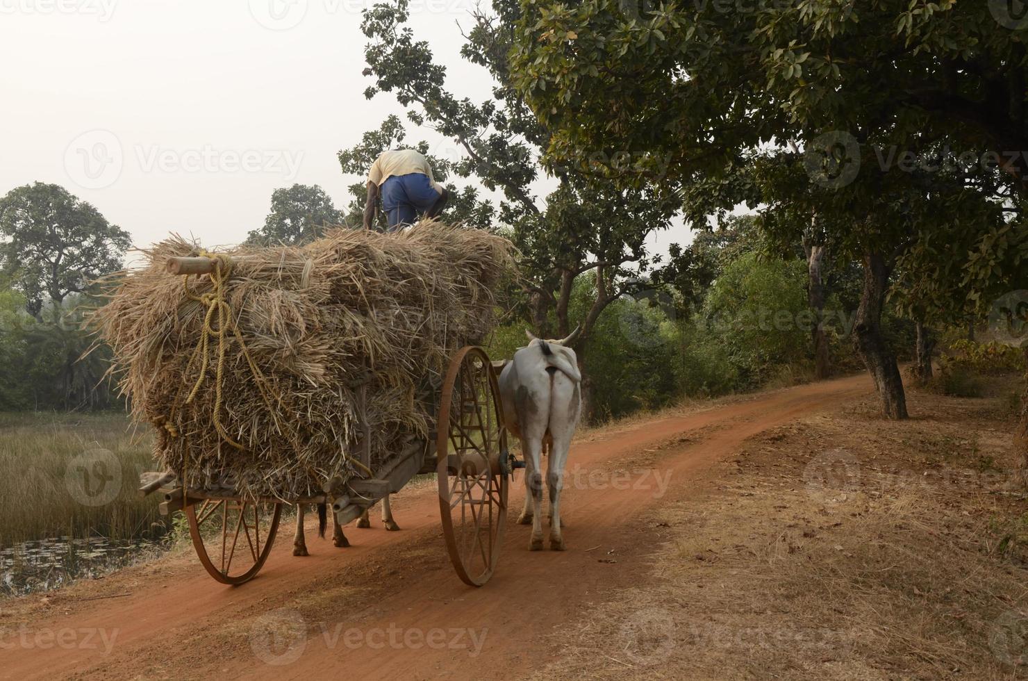 Ox carts photo