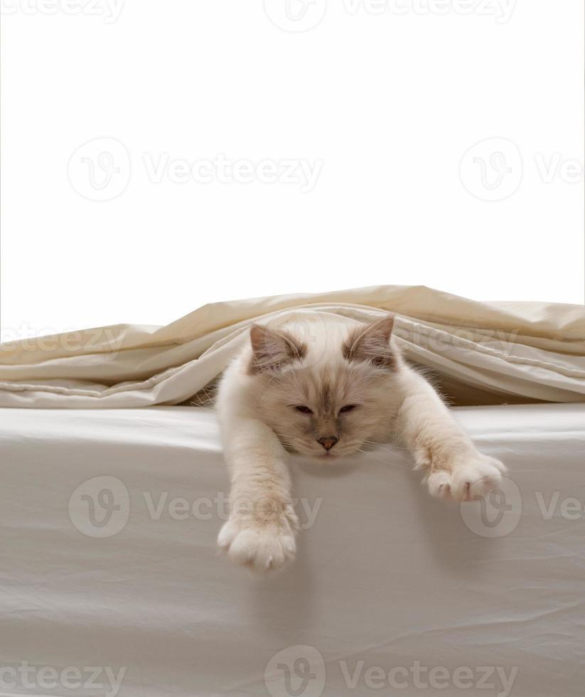 Pure white cat photo