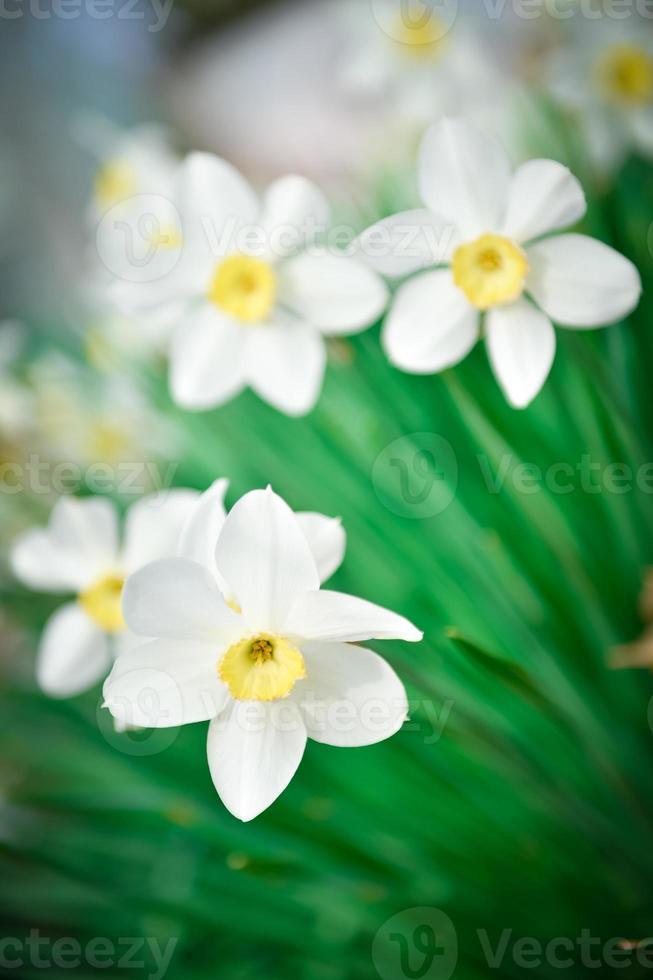 Beautiful White and yellow daffodils. Yellow and white narcissus photo