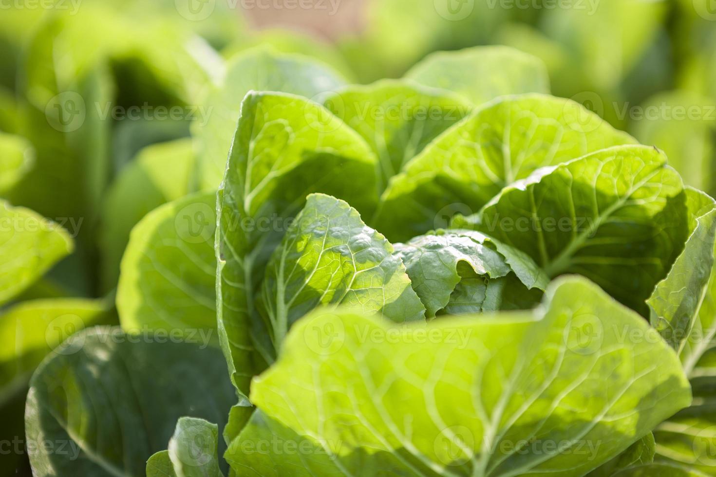 vagetable verde foto