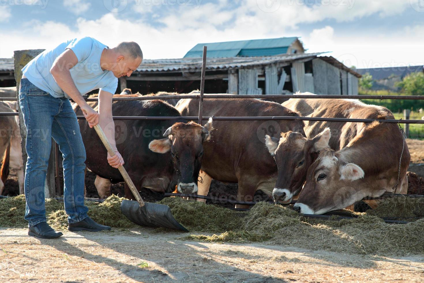 Farmer is working on farm with dairy cows photo