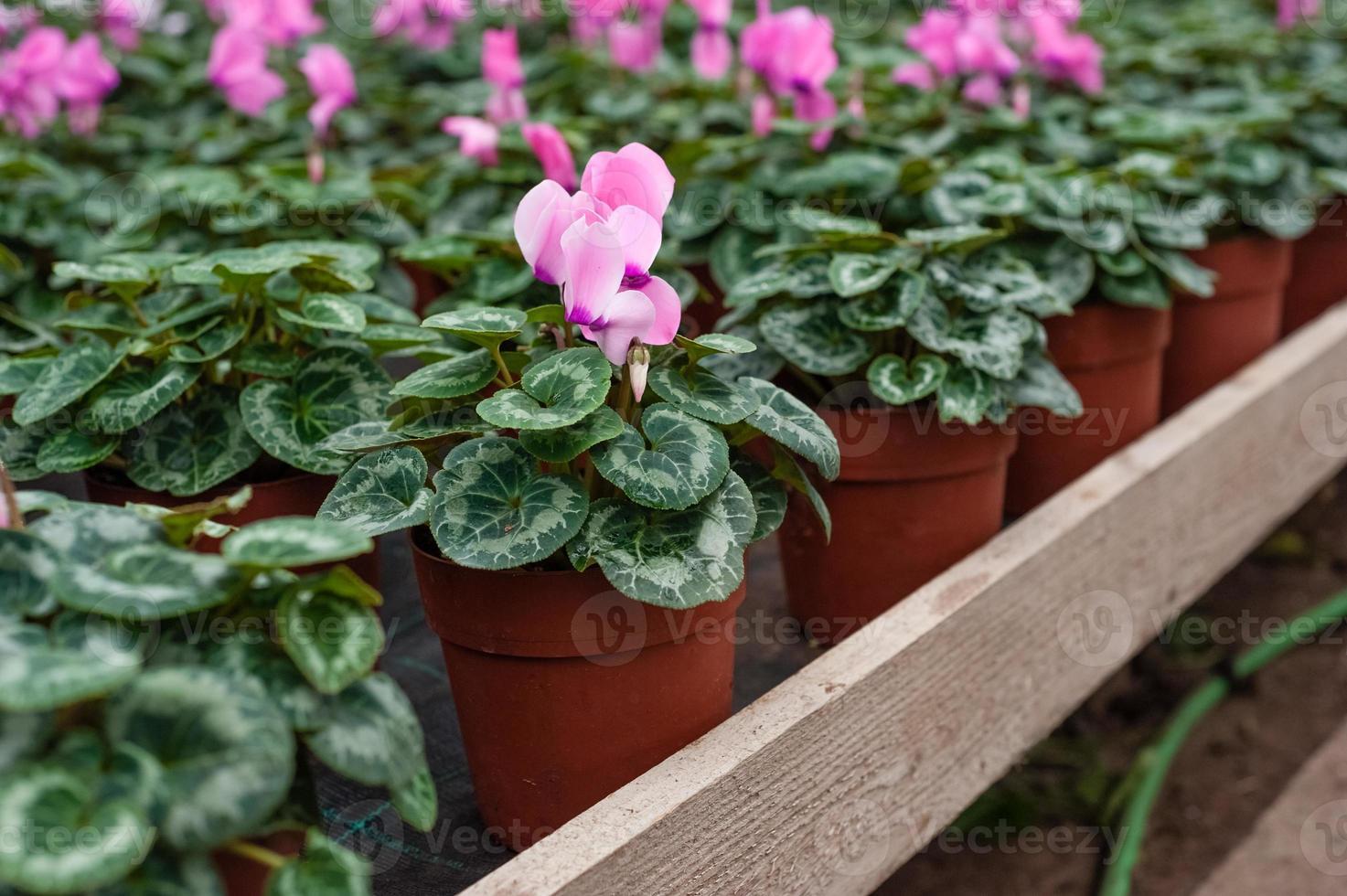 Flower culture in a greenhouse photo
