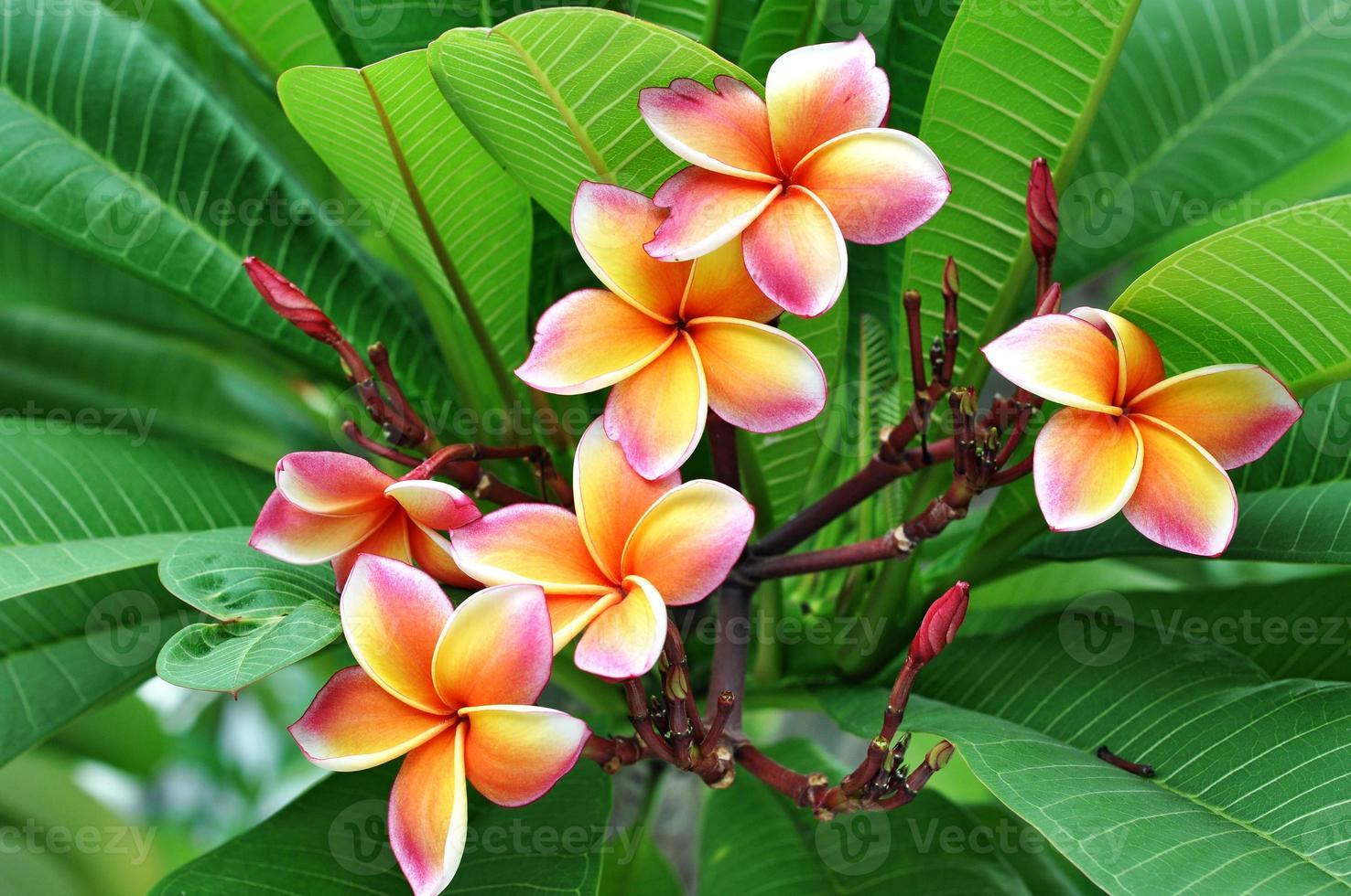 grupo de flores frangipani florece foto