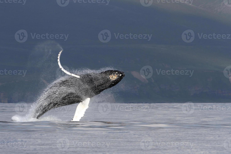 violación de ballenas jorobadas foto