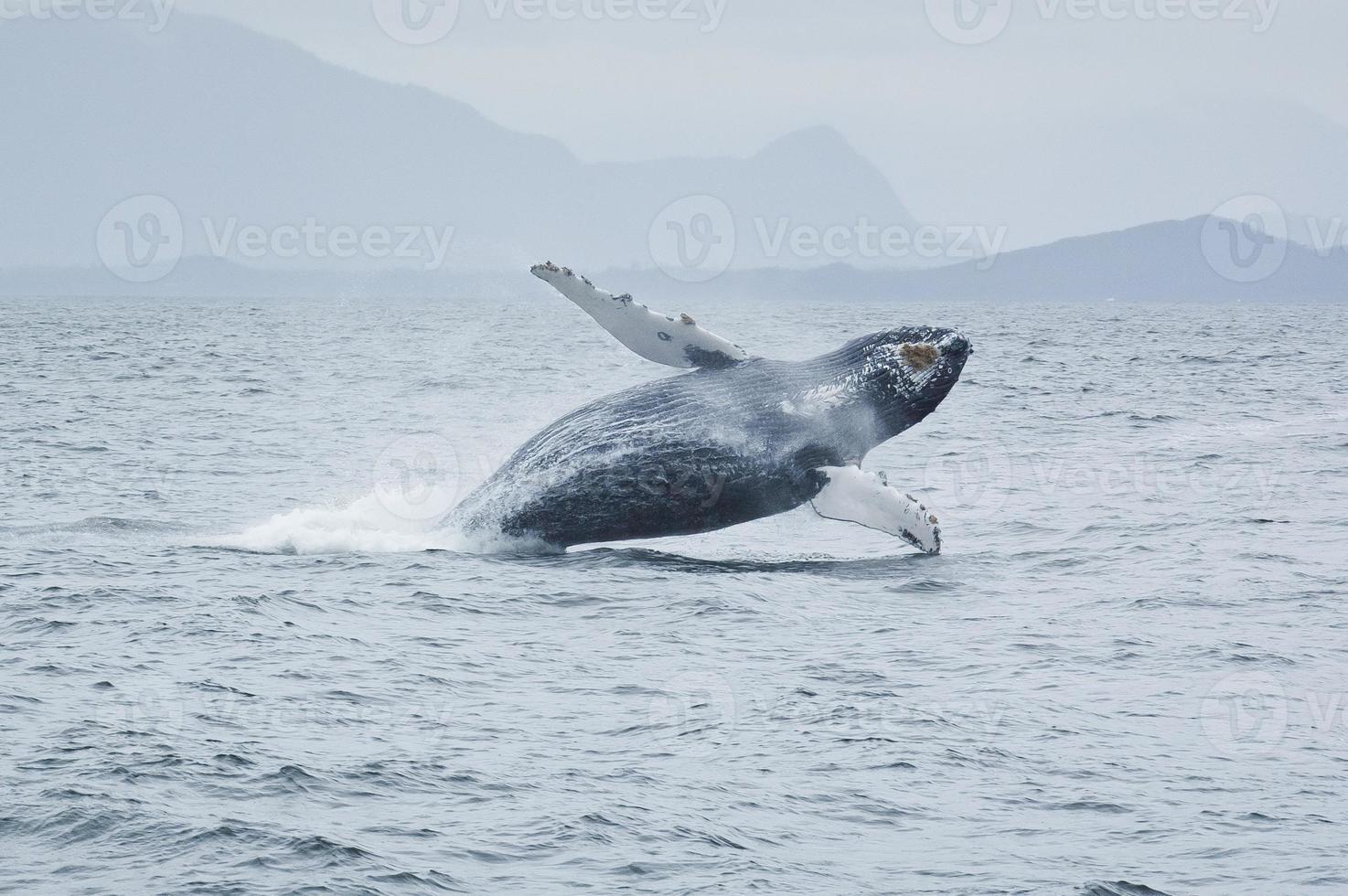 Incumplimiento de la ballena jorobada cerca de Tofino, la isla de Vancouver, BC, Canadá. foto