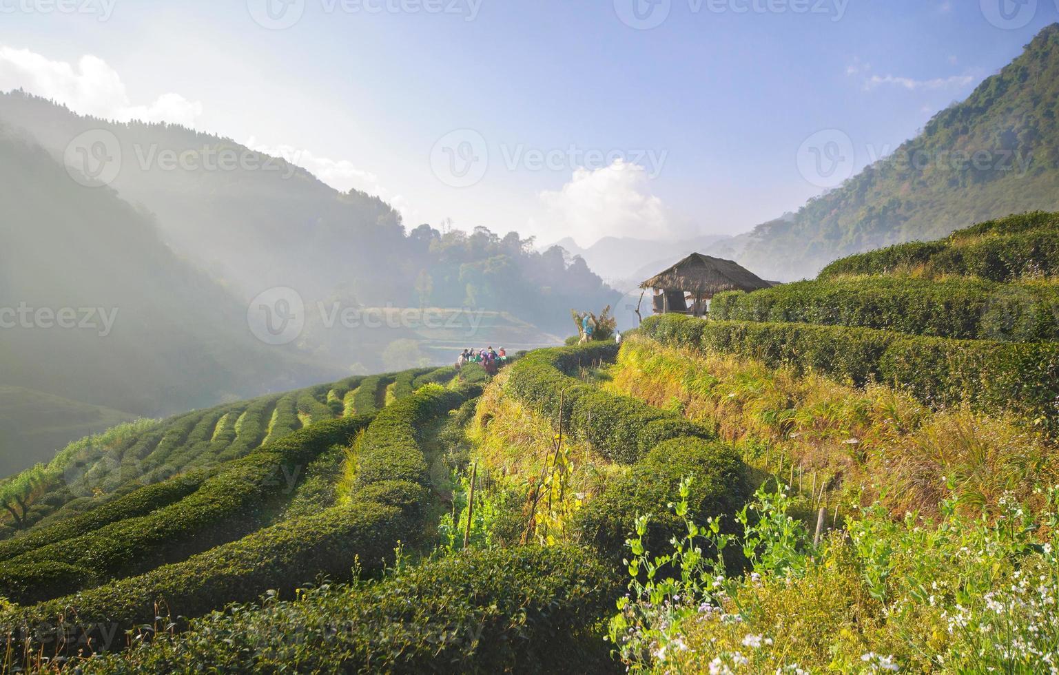 Plantación de té en Doi Ang Khang, Chiang Mai, Tailandia foto