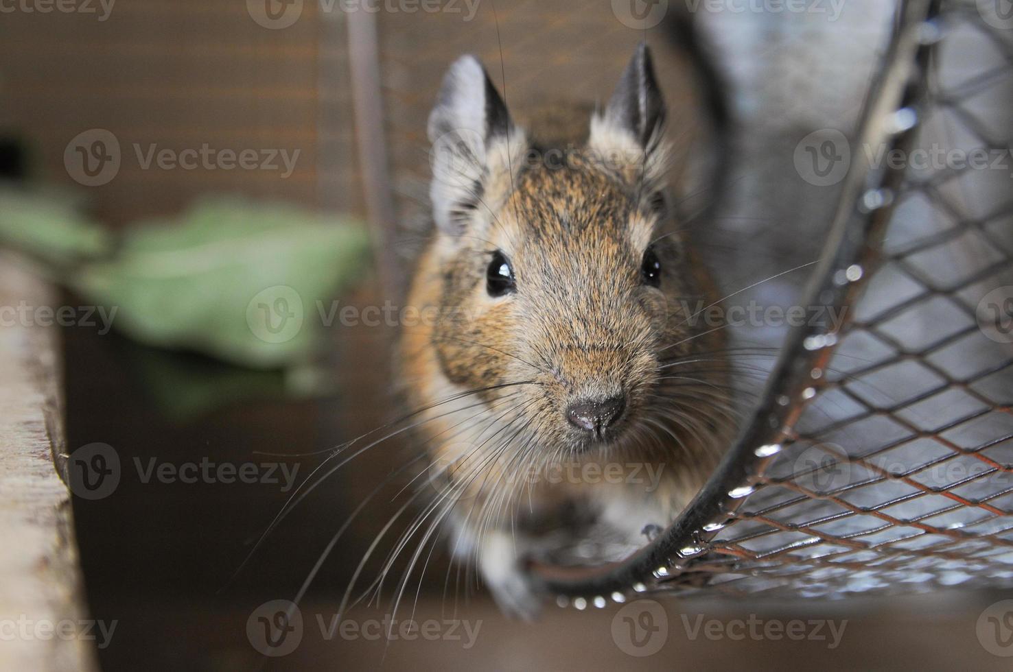 "little animal called ""octon degus"" photo"