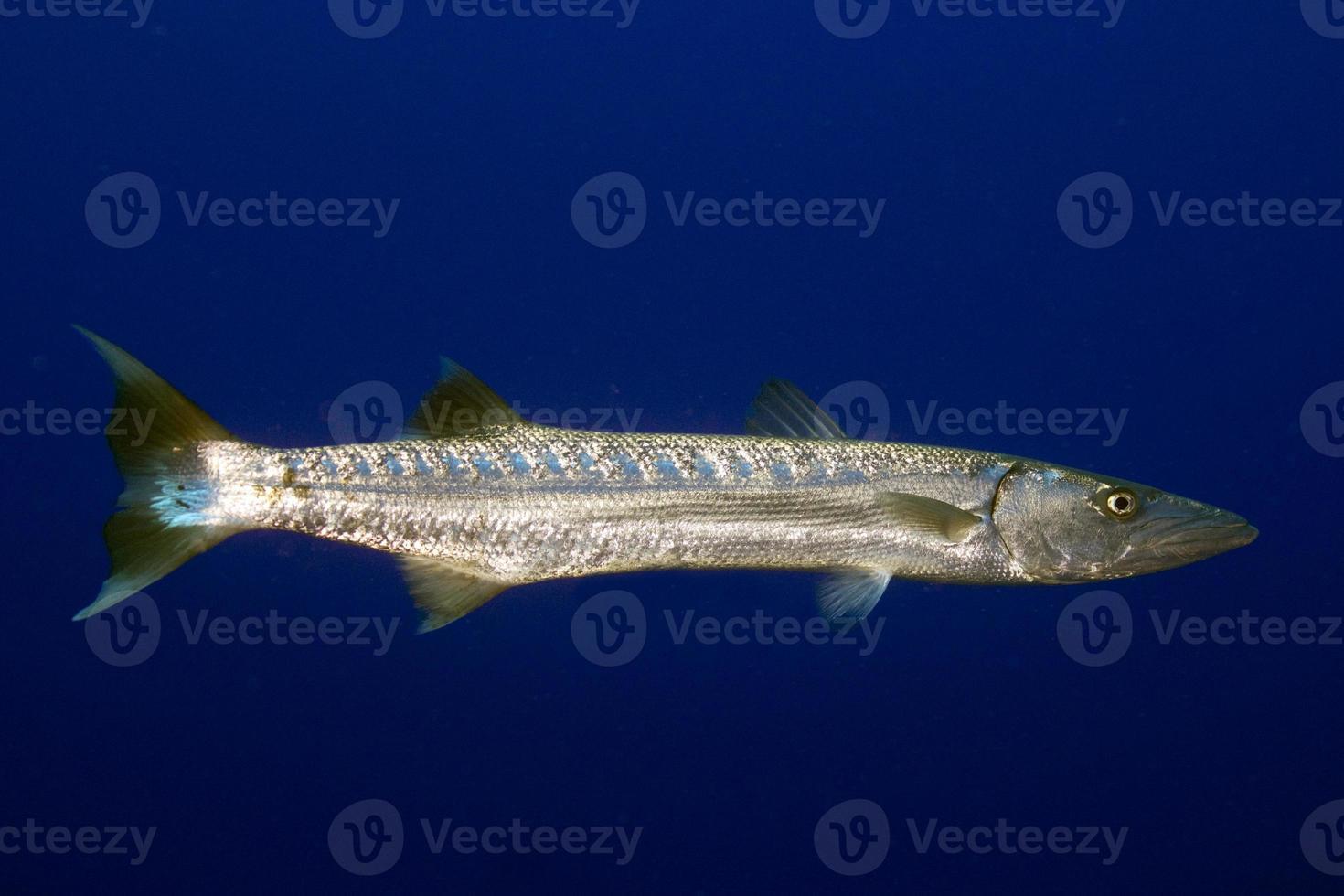 Great Barracuda photo