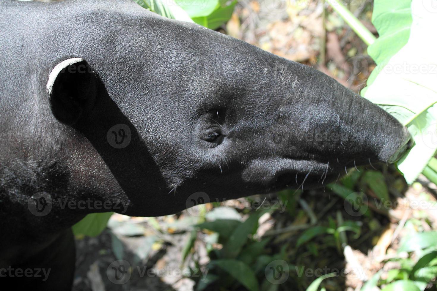 tapir asiático foto
