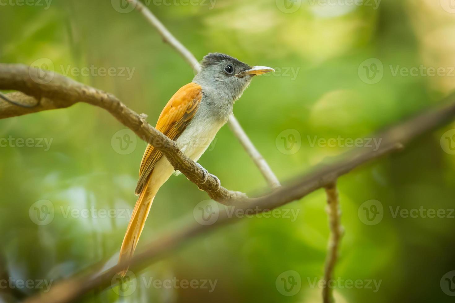 Asian Paradise Flycatcher photo