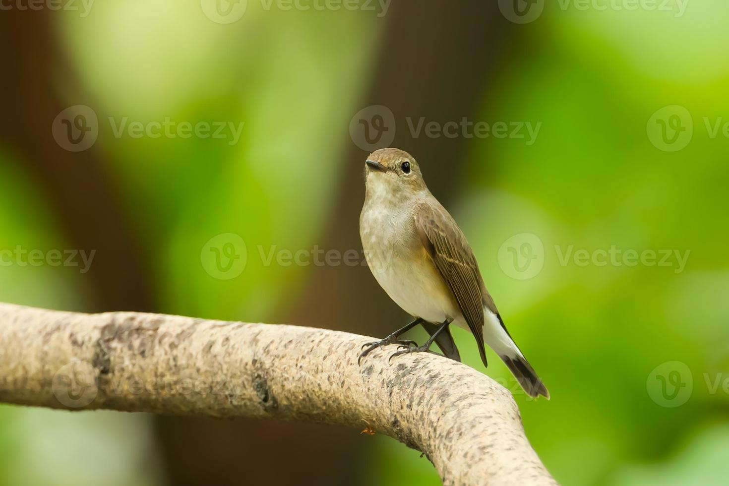 Asian Brown Flycatcher photo